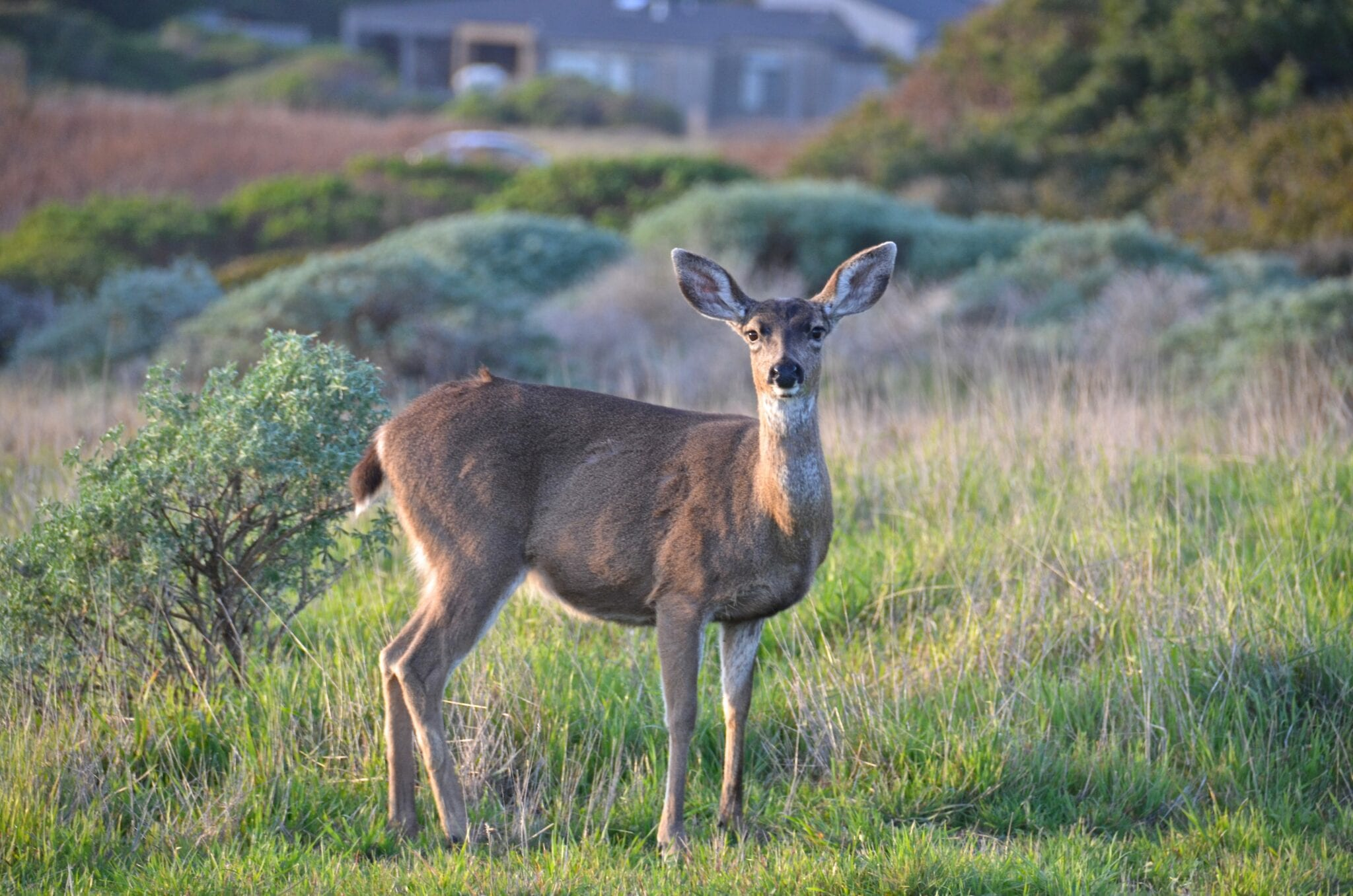 Sea Ranch Oceanfront, Abalone Bay, deer