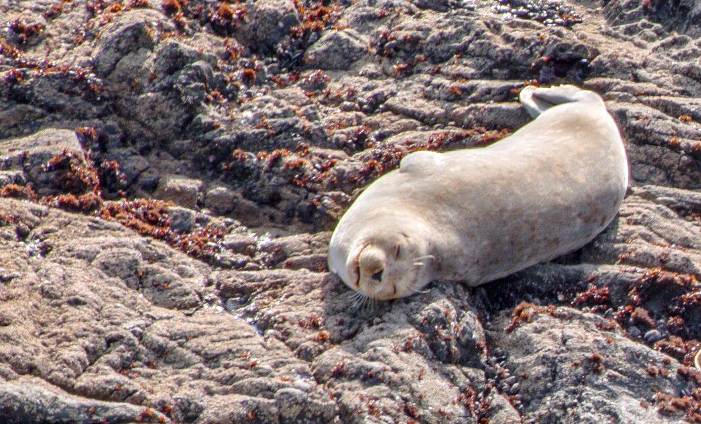 Sea Lion, Abalone Bay , Sea Ranch Abalone Bay,Mendocino County Sheriff