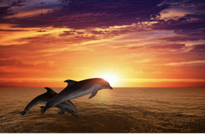dolphins jump at sunset