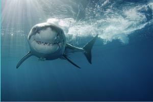 Shark swimming at you