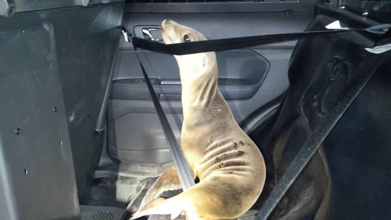 Mendocino Sheriff, sea lion pup rescue