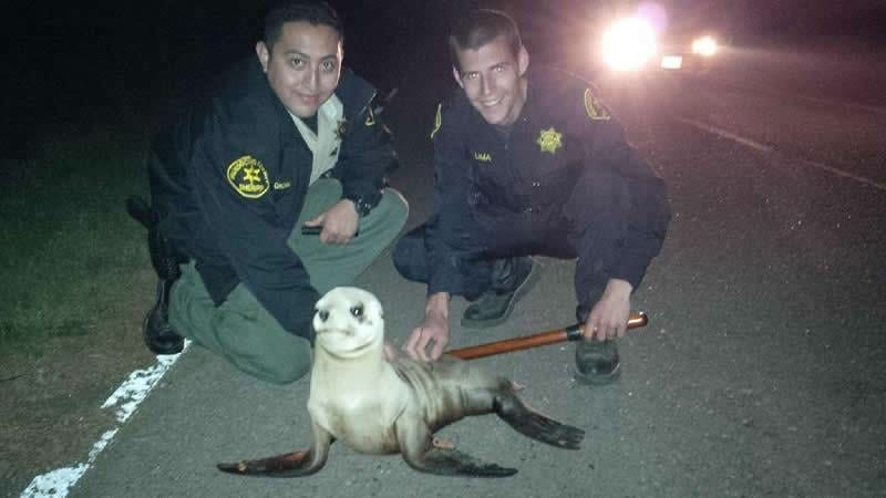 Mendocino Sheriffs,sea lion pup rescue