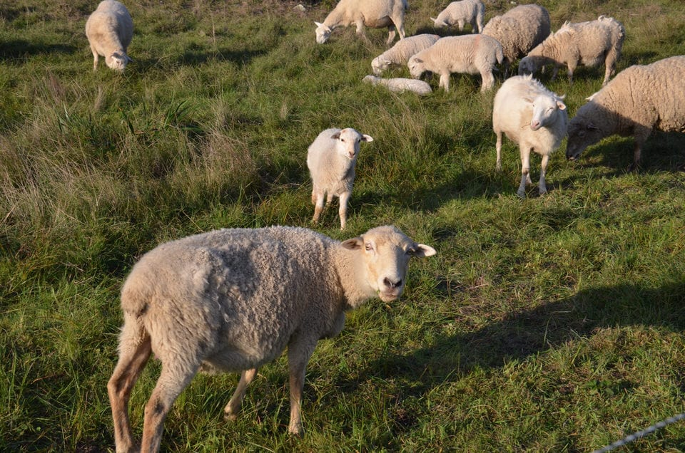 The Sea Ranch Sheep and Textile Arts: The Cure for Insomnia