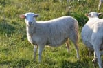 sea ranch sheep here's looking at you