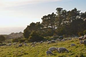 sea ranch sheep hilside, Christmas season , Sea Ranch, Abalone Bay, vacation, vacation rental, family , dog friendly,