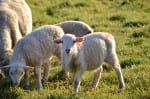 sea ranch sheep, Abalone Bay, vacation rentals, the sea ranch