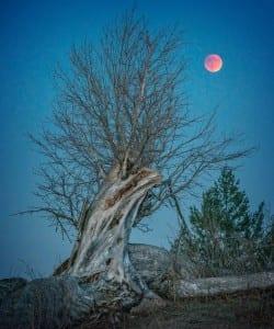 Sea Ranch Coyotes,coyote, Super Blood Moon, September 27, 2015, Paul Kozal