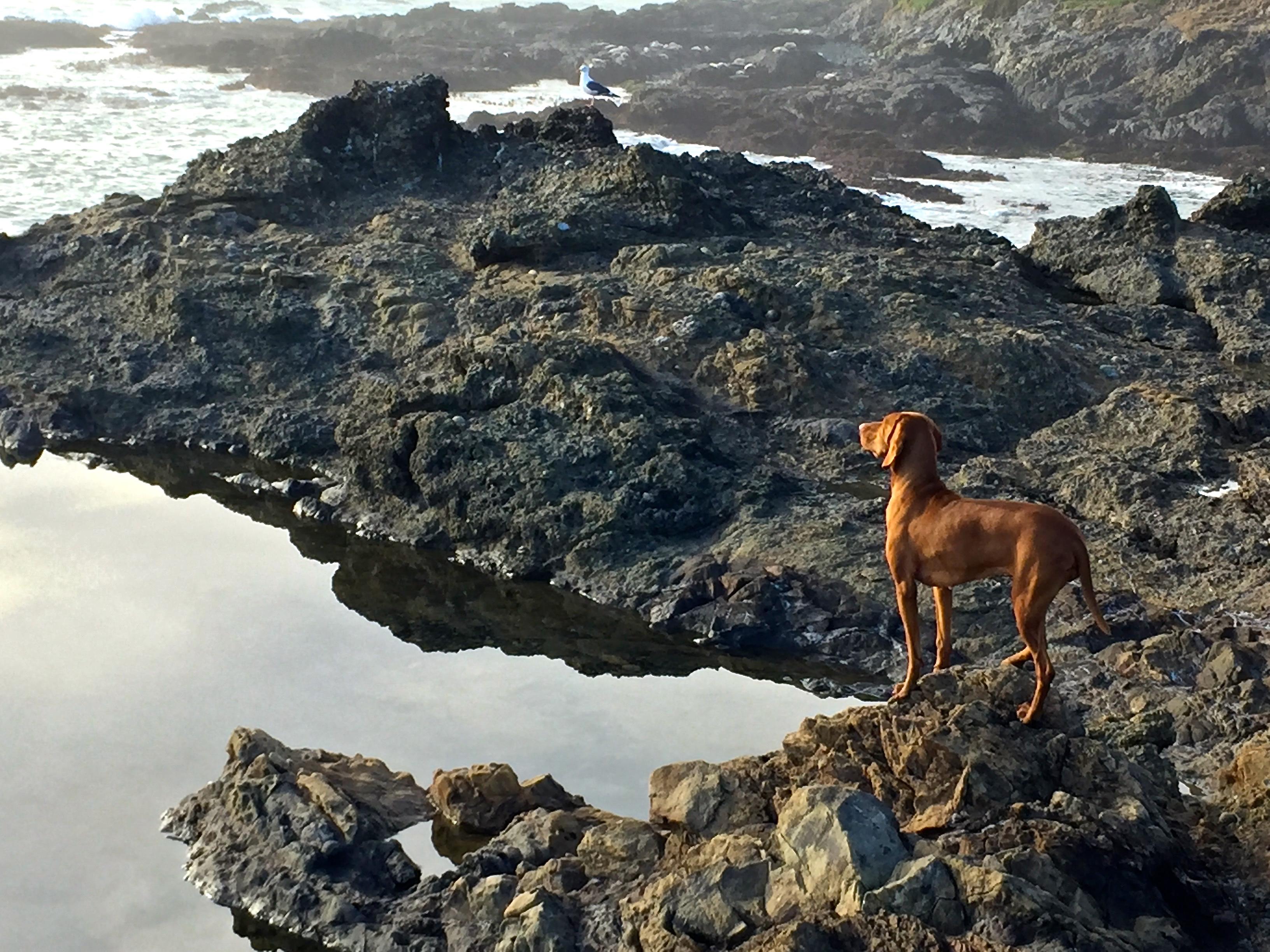 high surf, vizsla, Sea Ranch, Abalone Bay,