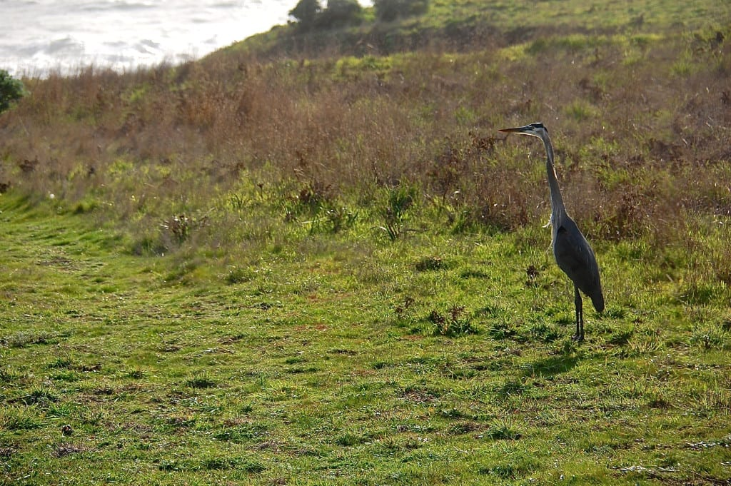 Sea Ranch Activities, blue heron