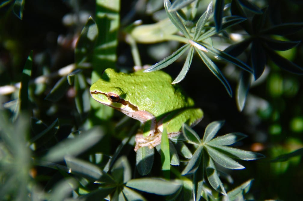 treefrogs, tree frogs, Sea Ranch, Abalone Bay