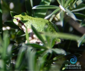 tree frogs,Sierran Chorus Tree Frog , Sea Ranch, Abalone Bay