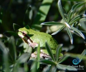 treefrogs,Sierran Chorus Treefrogs , tree frogs,Sea Ranch, Abalone Bay
