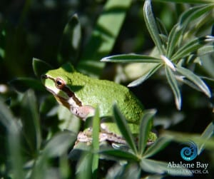 treefrogs,Sierran Chorus Treefrogs , Sea Ranch, Abalone Bay