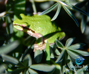 treefrogs,Sierran Chorus Treefrog , Sea Ranch, Abalone Bay