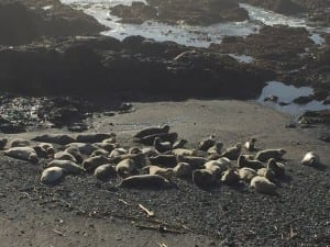 Sea Ranch harbor seals,sea ranch road trip,sea ranch rentals road trip,sea ranch rentals, road trip