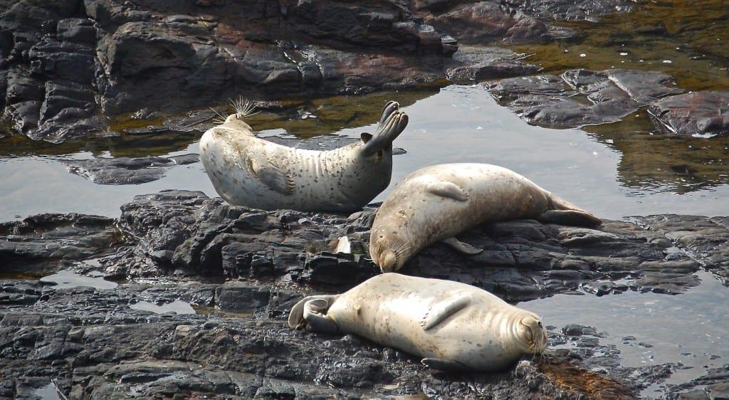 Sea Ranch harbor seals,banana behavior, harbor seals, Sea Ranch, Marine Mammal Center