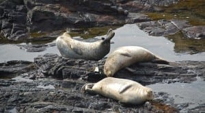 teen friendly vacation, Sea Ranch harbor seals,banana behavior