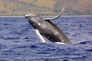 humpback, whale , whale watch, romantic getaway