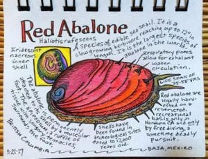 California Red Abalone