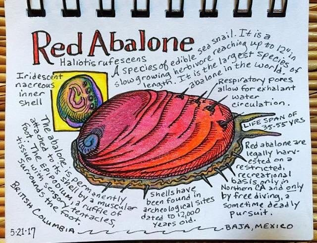 red abalone,California Red Abalone