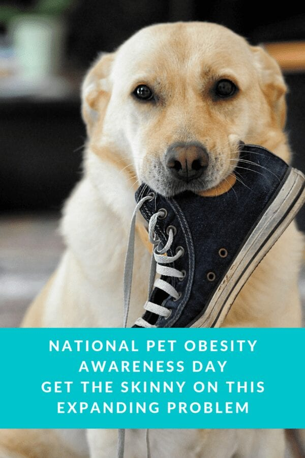 dog obesity pet obesity,overweight, national pet obesity awareness day, weight loss, , Pet Obesity, yellow labrador, dog with shoe in mouth
