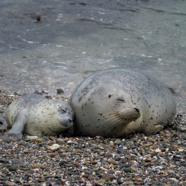 mother harbor seal snuggled by her seal pup