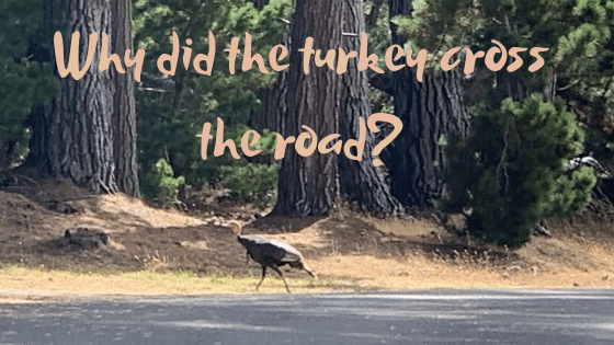 wild turkey crossing road in The Sea Ranch. Redwood tree trunks visible on other side of road