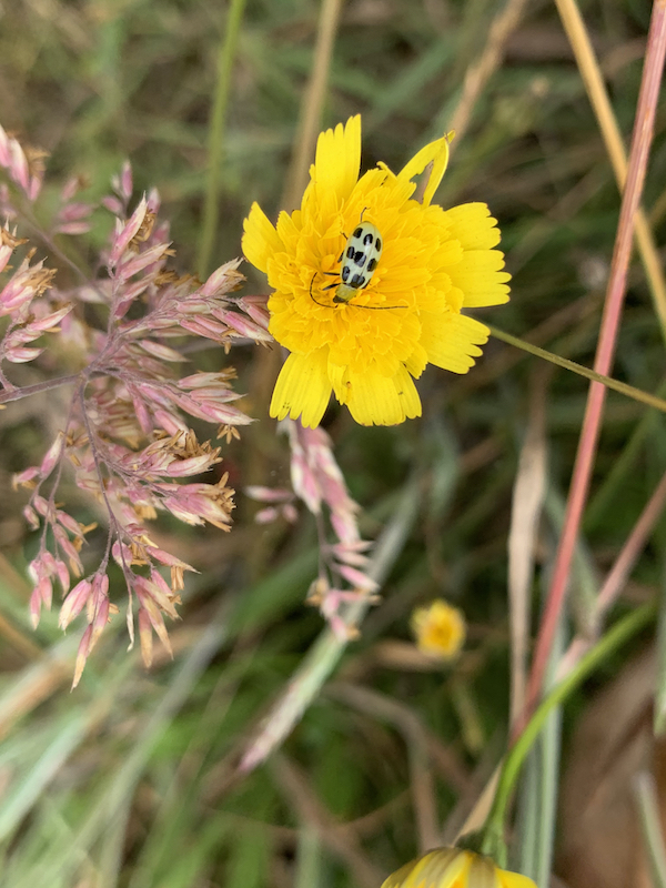 Spotted Cucumber Beetle on yellow flower. Enjoying the simple things