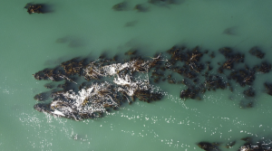 A kelp forest is seen in Saunders Reef off the coast of Gualala, California, U.S., September 21, 2021. Picture taken with a drone on September 21, 2021. REUTERS/Nathan Frandino